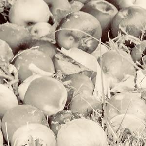 biercee pommes au sol